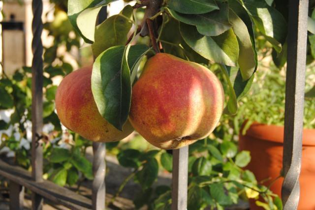 Izkiko ohiko fruta arbolak berreskuratzeko egitasmoa martxan