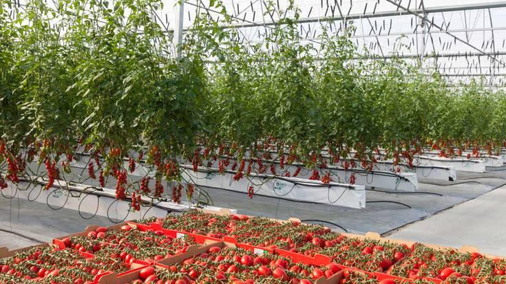 Tomate hidroponikoetarako sei hektareako ustiapena jarri asmo dute Tuestan