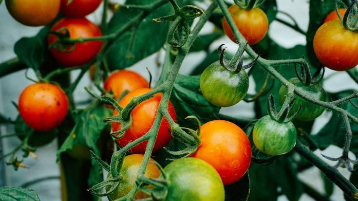 2020an iritsiko dira Gaubeako tomate hidroponikoak